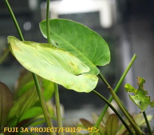アヌビアスバルテリーvarカラディフォリア