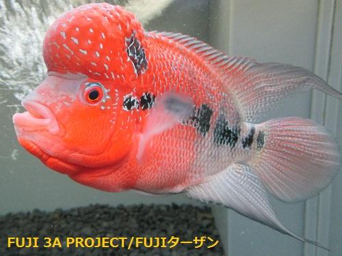 富貴高紅SSSグレード (4)