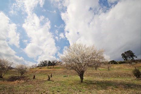 梅の花咲く丘