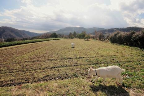 畑の雑草を食べる