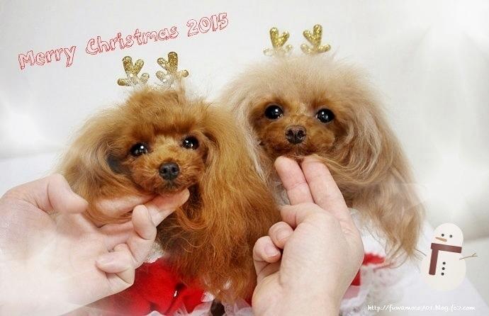 チビプードルモコの毎日☆モコみるく クリスマス2015