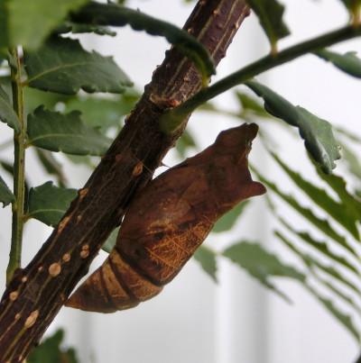 160127-幼虫と蛹-2