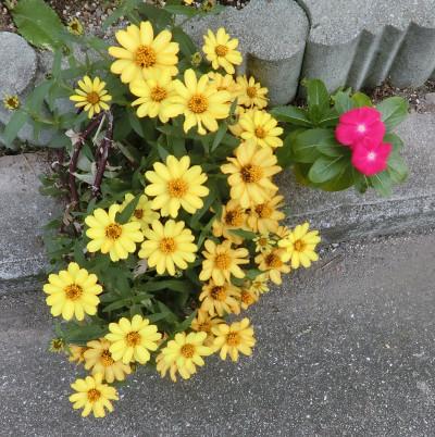 160218-黄色い花-1