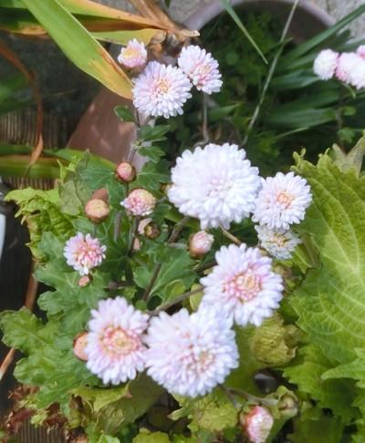 160218-小菊の花-3