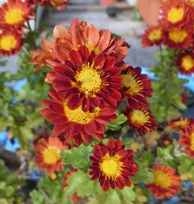 160218-小菊の花-2