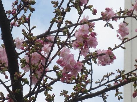 早咲き桜160214アップ