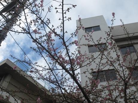 早咲き桜160214