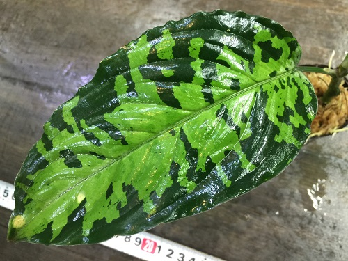 Aglaonema pictum west Sumatera 北部