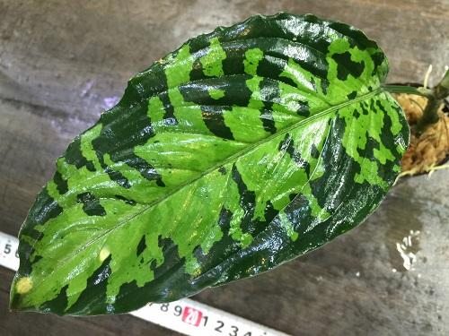 Aglaonema pictum west Sumatera 北部