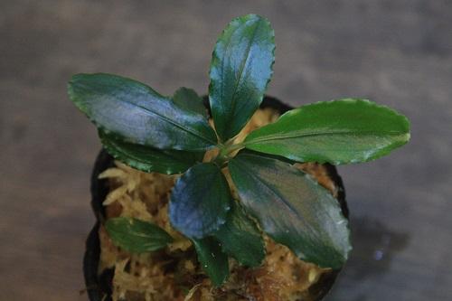 Bucephalandra sp.Melawi Selatan Leman-2