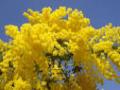mimoza1.png