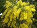 mimoza2.png