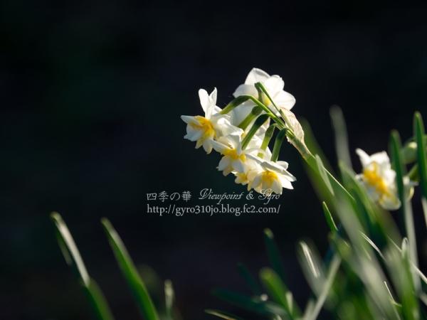 吾妻山公園の水仙 A