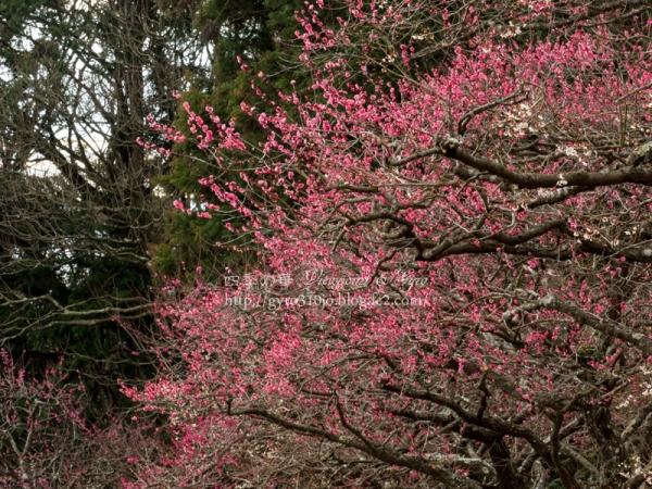 岩本山の梅花 A