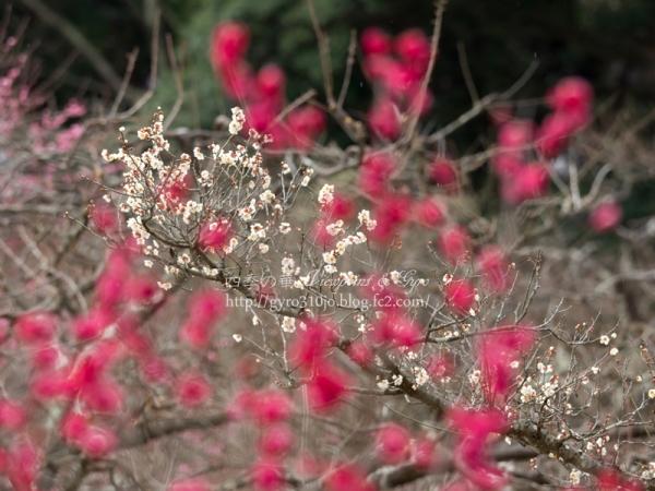 岩本山の梅花 B