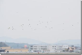 160117102 カワラヒワ飛翔
