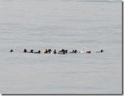 160131505 採食中のホシハジロの群れ(鵲)