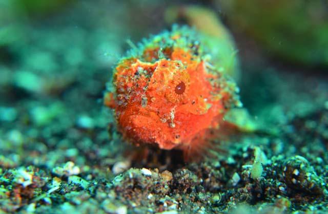 ダルマオコゼ幼魚