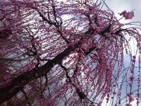 梅祭り 神奈川県 曽我梅林 GSX1300R