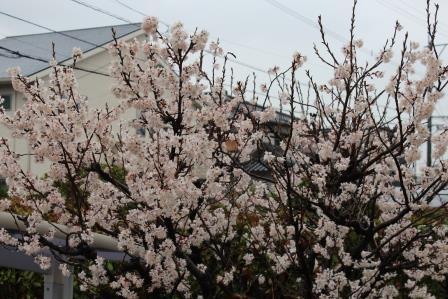 2016さくらんぼの花