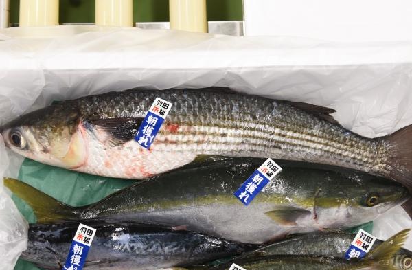 鮮魚ボックスのボラ1212