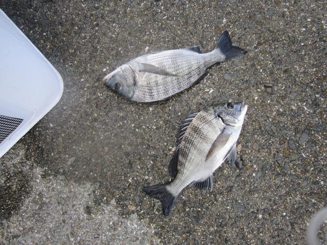 チヌ釣り?