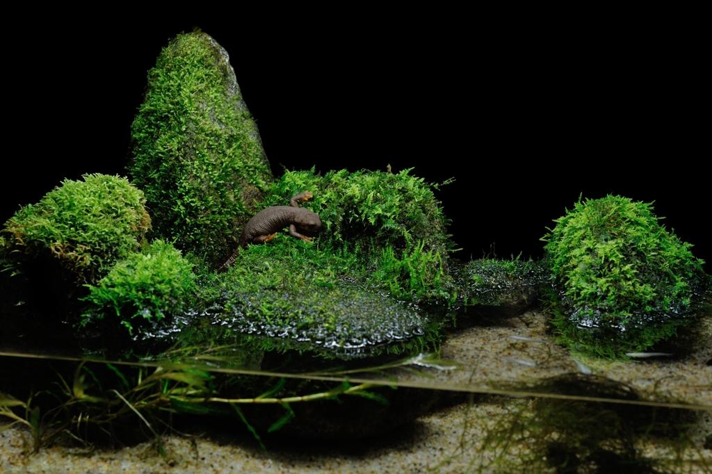 カリフォルニアイモリ Taricha torosa torosa