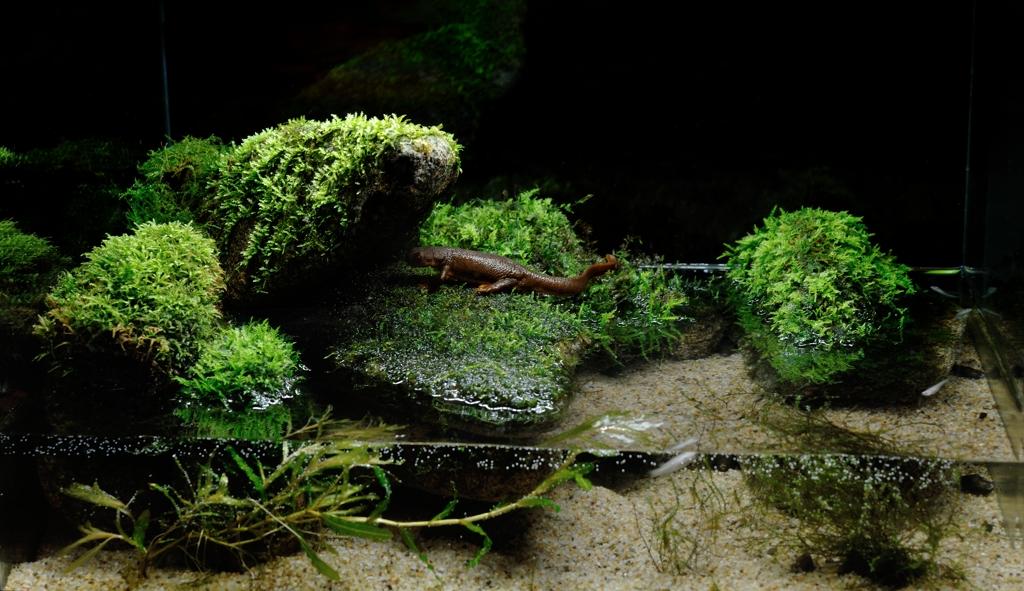 カリフォルニアイモリ Taricha torosa