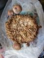 椎茸12芽