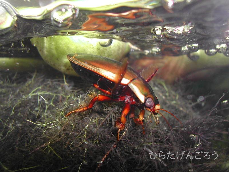 Dytiscus sharpi②