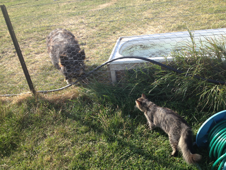 羊の国のラブラドール絵日記シニア!!「ファームの猫」5
