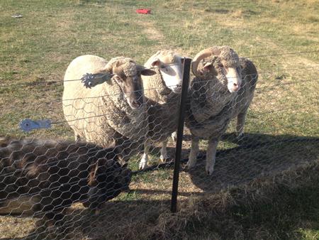 羊の国のラブラドール絵日記シニア!!「ファームの猫」6