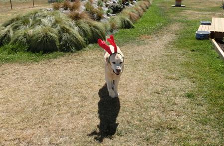 羊の国のラブラドール絵日記シニア!!「災い転じて・・・ひょっとして?」写真1