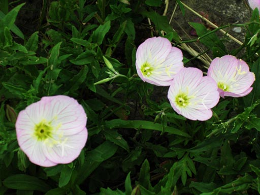 DATA8_04003 昼咲月見草 道端に咲く花が好きだ