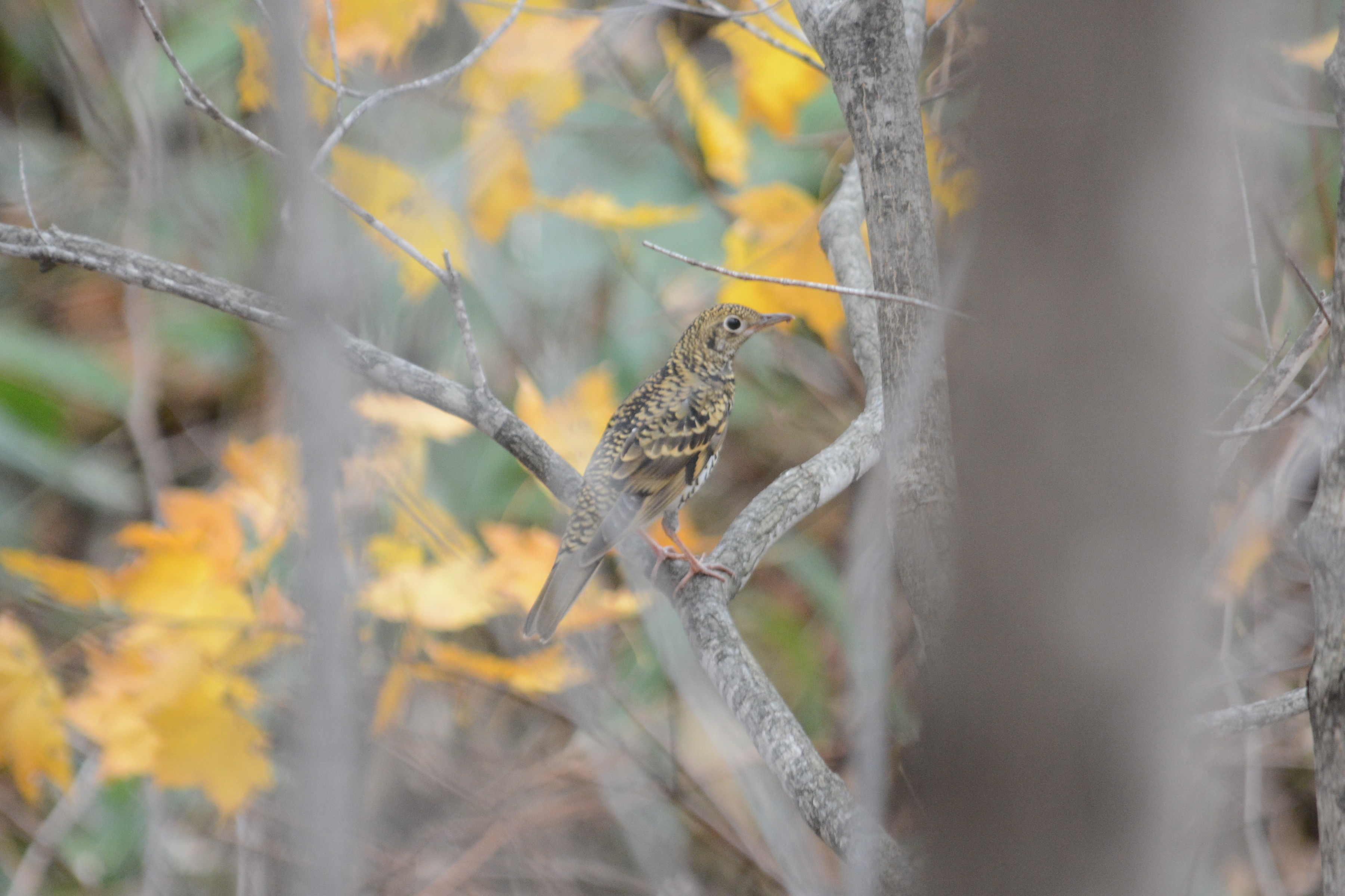 秋のトラツグミ