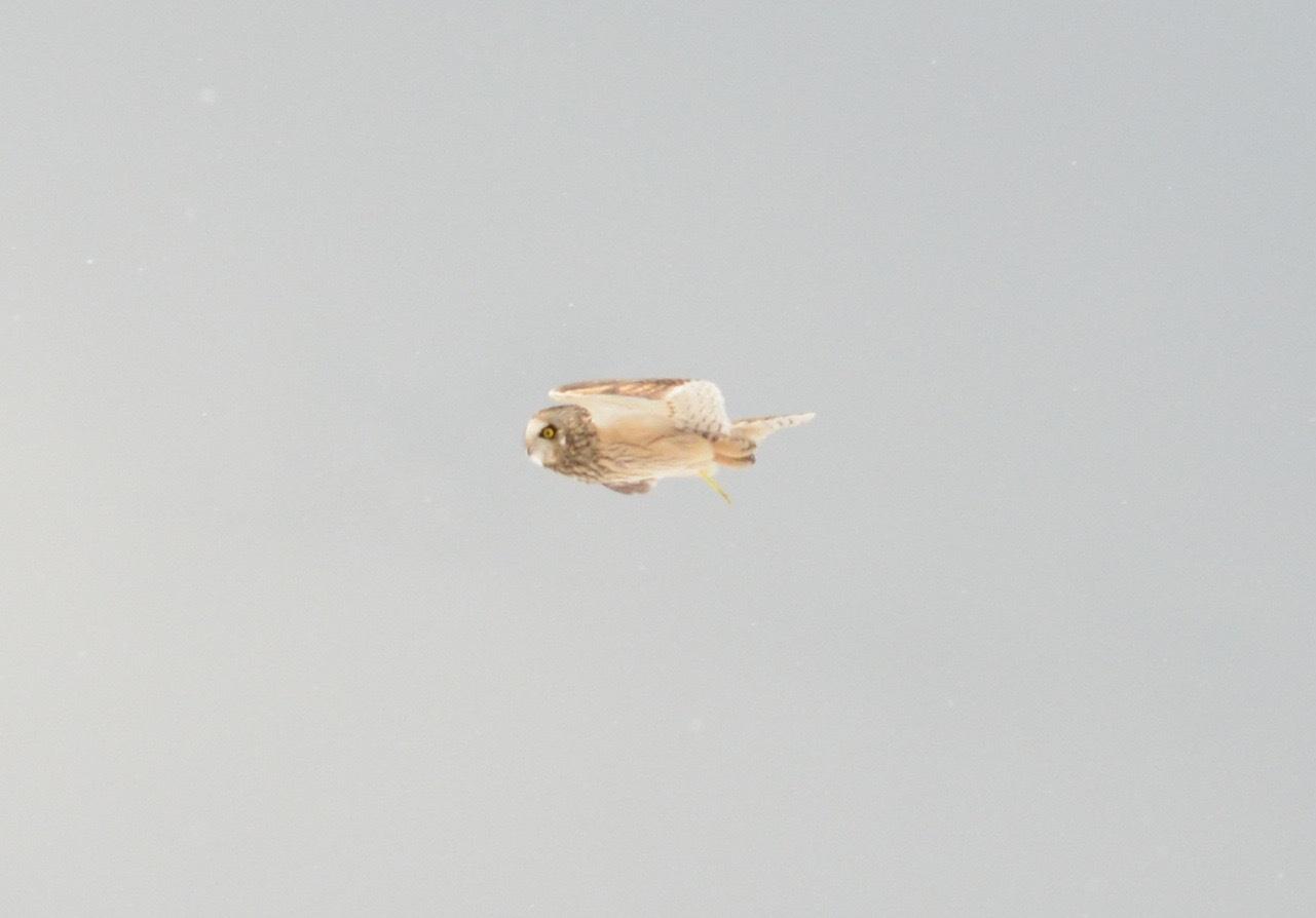 コミミズク飛翔