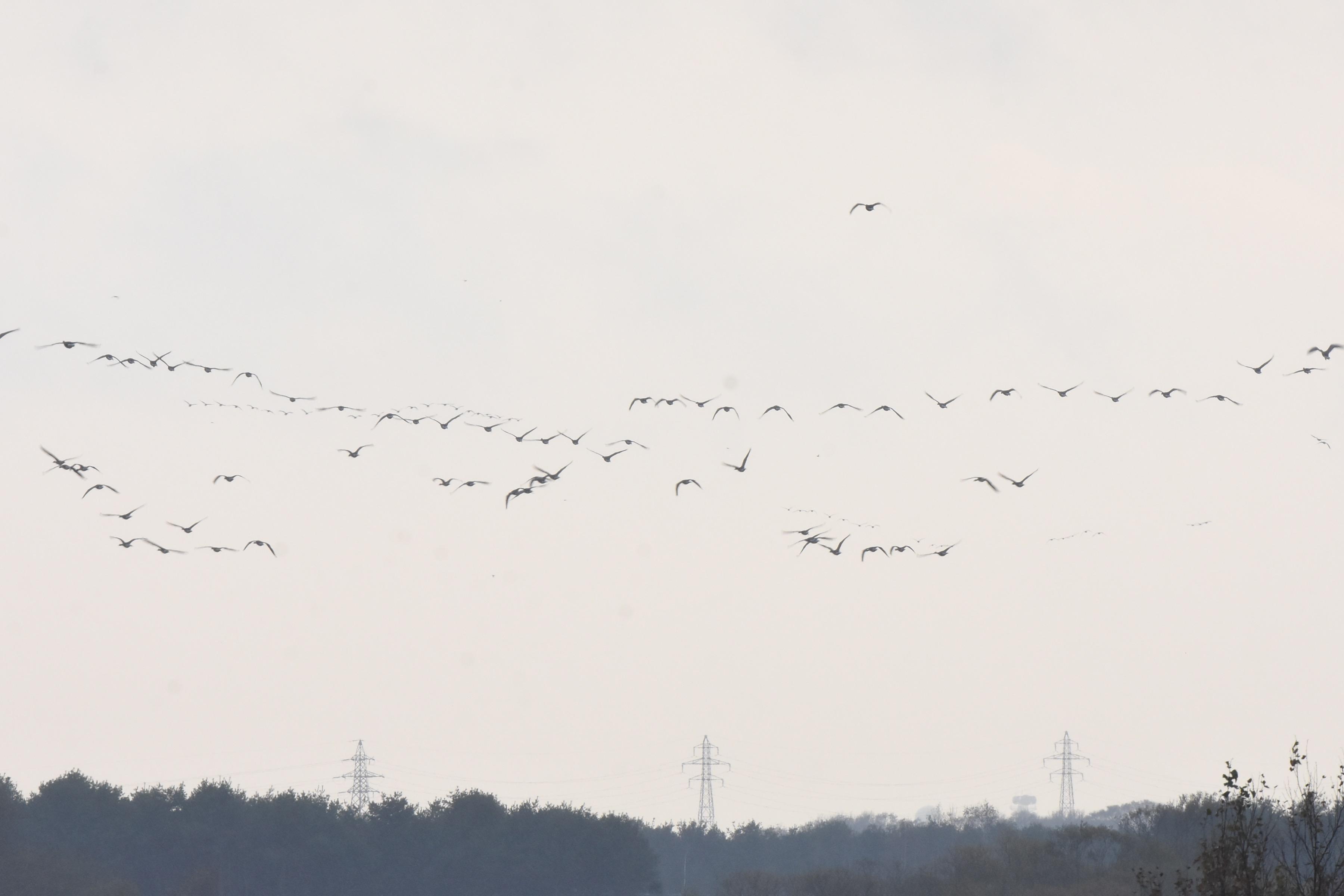 オオヒシクイ 群れ飛翔