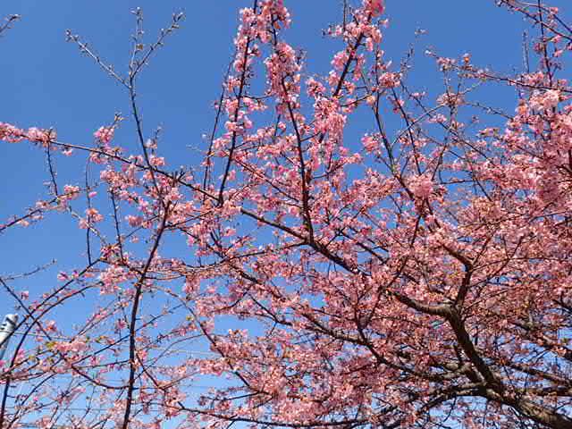 川津桜とマグロ丼 (42)