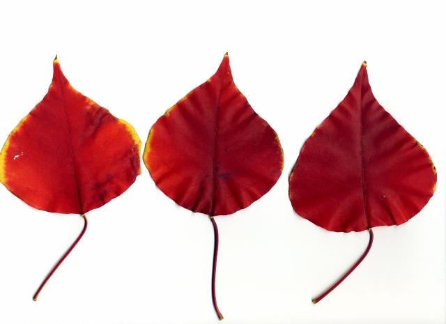 ナンキンハゼ紅葉3 (640x465)