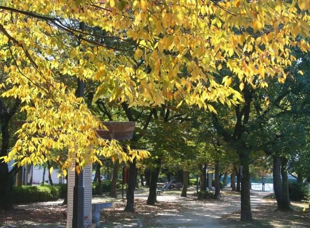 IMG_0327 天満川左岸の黄葉(640x472)