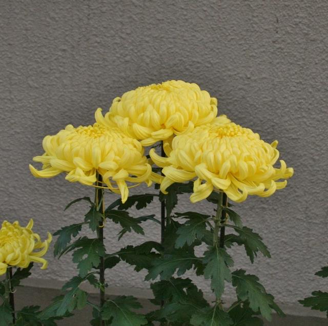 IMG_0371 菊の花(640x635)