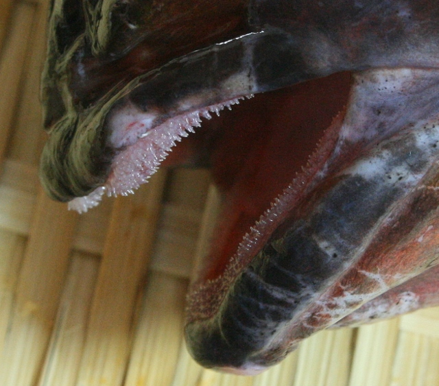 IMG_1447 カサゴの歯(640x563)
