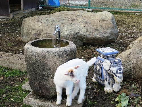 農園のヤギ