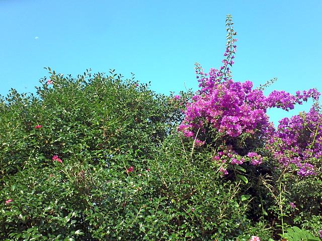 山茶花とブーゲン
