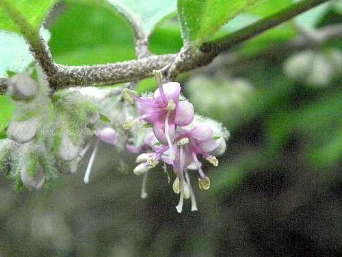 花が咲くのは5月から6月
