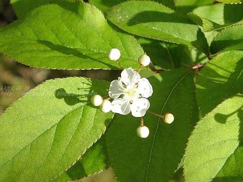 カマツカの花