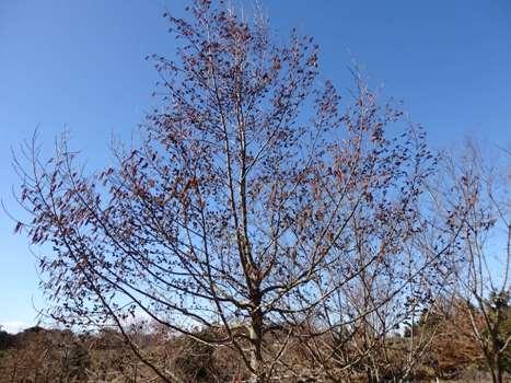 「秋葉の森:ハンノキ」
