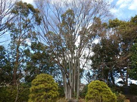 「大宮第二公園の樹木(2)」