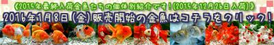 2015年12月26日【2015年最終入荷金魚】バナー画像