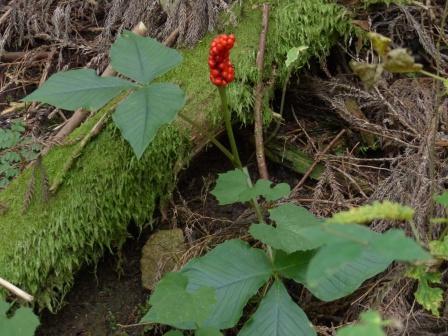 皿ヶ嶺 (水の元~天狗の庭付近) ミツバテンナンショウ の実